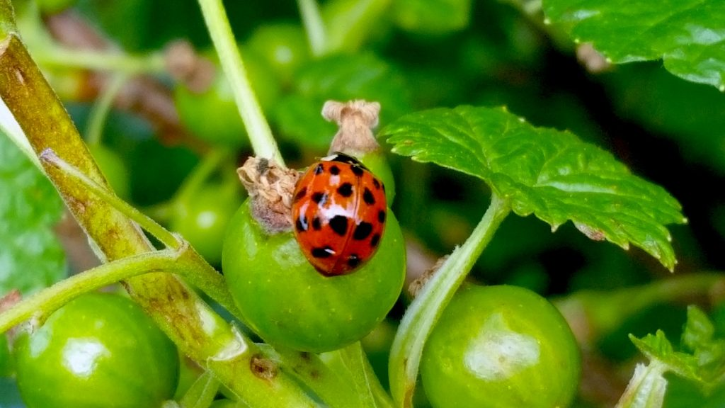 ladybirds can gobble up greenfly so you use less pesticdes and  garden organically