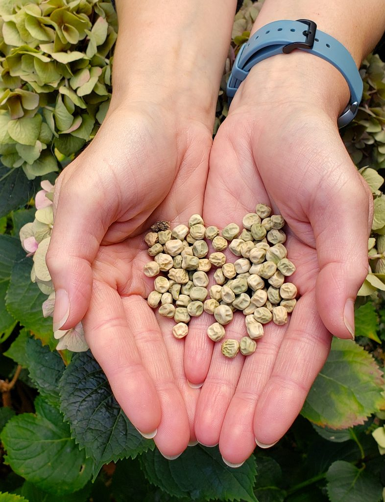 peas in allotment alice's hands